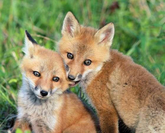 foxearnom560.jpg